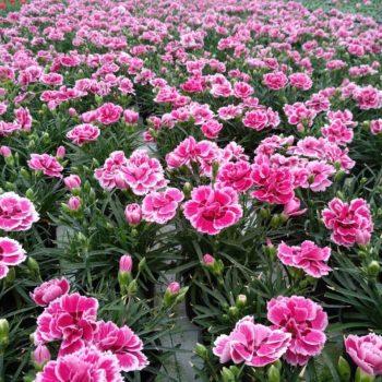 Гвоздика садовая махровая многолетняя садовая купить в Гродно