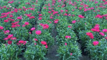 Гвоздика садовая купить в Гродно