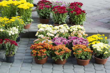 Хризантема купить садовые растения