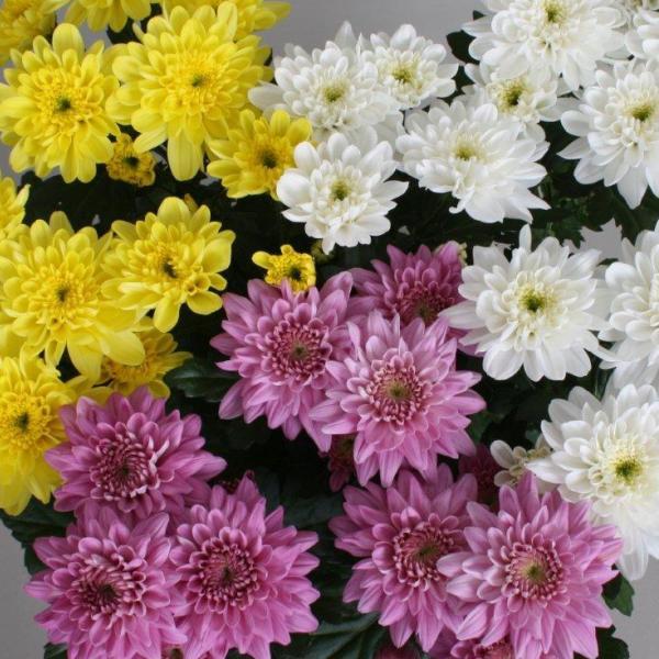 Хризантема кустовая купить в Гродно