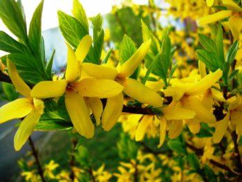 цветущая Форзиция купить в Гродно питомник растений Зелёный слон