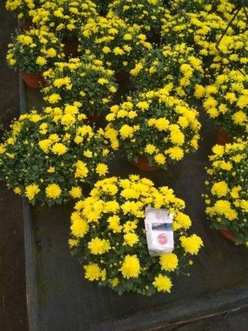 купить хризантему в Гродно питомник растений Зелёный слон 6